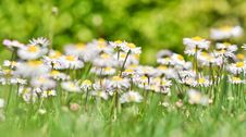 Free Bush Daisies Royalty Free Stock Photography - 19967697
