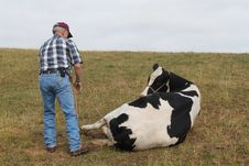 Free Large Animal Vet Roping The Cow Stock Photo - 19968930