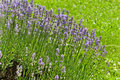 Free Lavender Stock Images - 19971354
