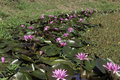 Free Water Lilies Royalty Free Stock Photography - 19972447