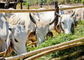 Free White Cows In Feeding Place Royalty Free Stock Photos - 19976978