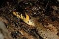 Free Grass Snake (Natrix Natrix) Stock Photos - 19979473
