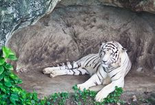 Free White Tiger Royalty Free Stock Images - 19970909