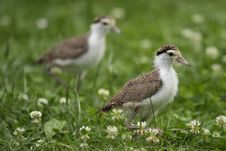 Free Masked Lapwing Royalty Free Stock Photos - 19970998