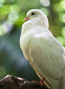 Free White Fantail Pigeon Royalty Free Stock Photography - 19971047