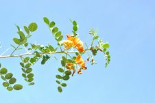 Free The Colutea With Pinnate Leaves And Orange Flowers Royalty Free Stock Photography - 19971137