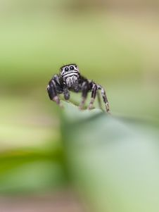 Free Jumping Spider Royalty Free Stock Photography - 19971327