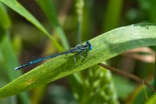 Free Azure Damselfly Royalty Free Stock Photography - 19971337