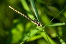 Free White-legged Damselfly Royalty Free Stock Photo - 19971345