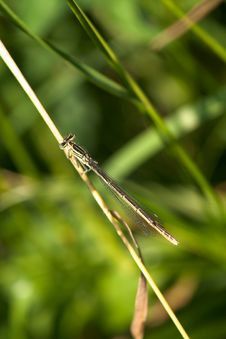 Free White-legged Damselfly Stock Photos - 19971353