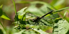 Free Common Clubtile Dragonfly Stock Photo - 19971370