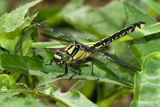 Free Common Clubtile Dragonfly Royalty Free Stock Photography - 19971377