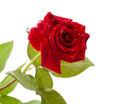 Free Dark Red Rose With Drops Stock Photo - 19972980