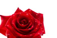 Free Dark Red Rose With Drops Stock Images - 19973004