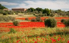 Free Tuscan Red Poppies Stock Image - 19973021
