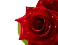 Free Dark Red Rose With Drops Royalty Free Stock Photos - 19973038