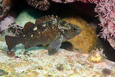 White-edged Rockfish Under Water Royalty Free Stock Photo