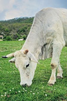 Free White Cow Stock Photography - 19973702