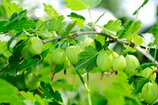 Free Green Gooseberries On Bush Stock Photos - 19973753