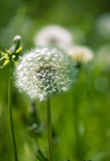 Free White Dandelion On A Green Background Royalty Free Stock Image - 19974866