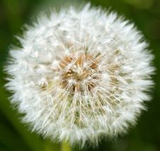 Free Closeup Of White Dandelion On A Green Background Royalty Free Stock Images - 19974899