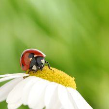Free Ladybug On Camomile Royalty Free Stock Images - 19975059