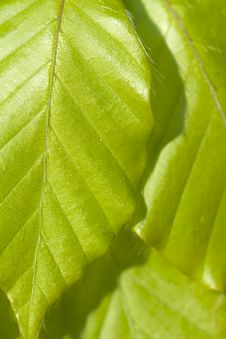 Free Green Leaves Background Royalty Free Stock Photo - 19975505