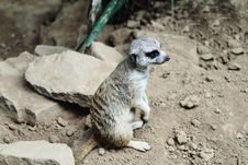 Free Meerkat Stock Photo - 19975640