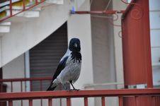 Free Crow Stock Image - 19976321