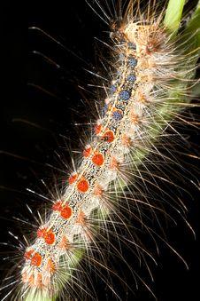 Free Gypsy Moth / Lymantria Dispar Stock Photography - 19977172