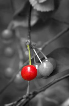 Free Cherries On A Tree Royalty Free Stock Images - 19978169