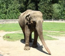 Free Asian Elephant Royalty Free Stock Photos - 19978298