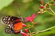 A Feeding Golden Helicon Butterfly Stock Images