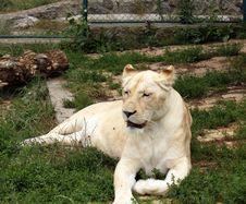 Free White Lion Stock Photo - 19978660