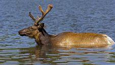 Free Elk Royalty Free Stock Photo - 19979775