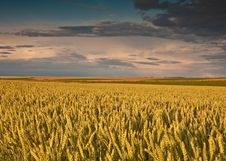 Free Field With Wheat And Sunset Stock Photos - 19979783