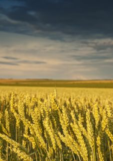 Free Field With Golden Wheat And Sunset Stock Image - 19979801