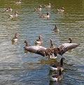 Free Greylag Goose Displaying Stock Images - 19981074