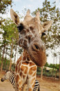 Free Giraffe Royalty Free Stock Images - 19984189