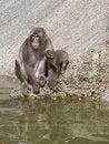 Free Ape Family Royalty Free Stock Photos - 19988168