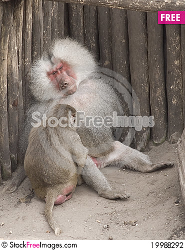 Free Ape Family Stock Photography - 19988292