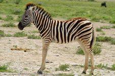 Free Young Zebra Stock Photo - 19980260