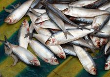 Free Small Fresh Water Fishes At Indian Market Royalty Free Stock Photo - 19980595