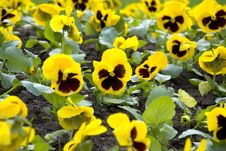 Free Viola Tricolor Stock Photos - 19980823