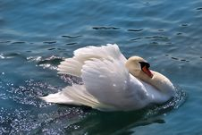 Free Swan (Cygnus Olor) Stock Photo - 19980900