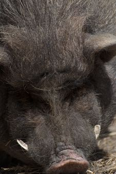 Free Wild Boar Stock Photos - 19981293