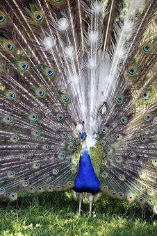 Free Peacock Royalty Free Stock Photography - 19981597