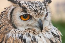 Free Bubo Bubo Stock Photography - 19983082