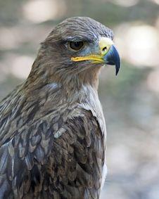 Free Tawny Eagle Royalty Free Stock Photos - 19984228