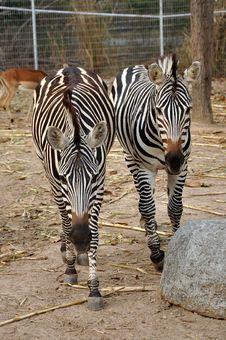 Free Zebras Stock Photo - 19984250